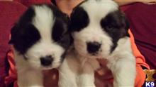 saint bernard puppy posted by MCMACK20017