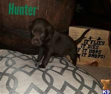 german shorthaired pointer puppy posted by MJ112019
