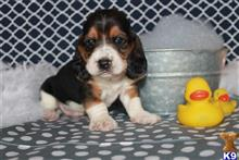 basset hound puppy posted by MJ1990