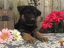 german shepherd puppy posted by MJ1990