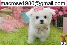 maltese puppy posted by Macrose1980