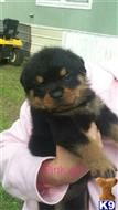 rottweiler puppy posted by Magedw