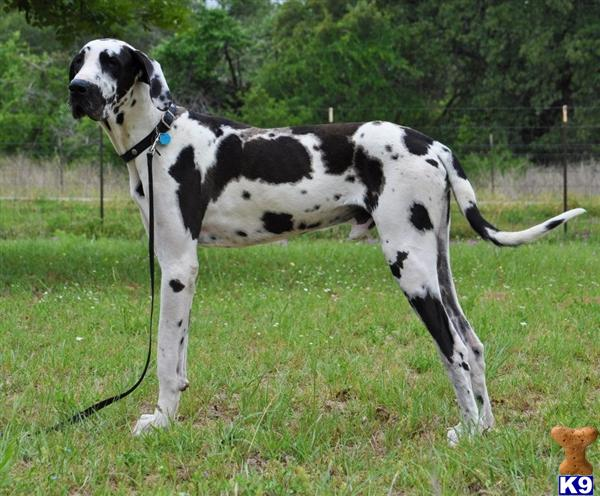 Great Dane Stud Dog Wrangler Wayne M Harley D 9 Years Old