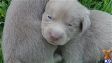 labrador retriever puppy posted by Marcynorman