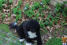 portuguese water dog puppy posted by MarianneD