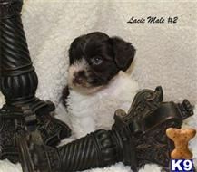 miniature schnauzer puppy posted by Martha27