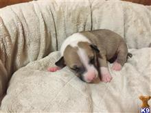 bull terrier puppy posted by MathewsMegan