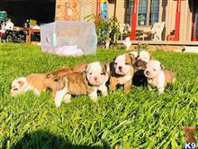 old english bulldog puppy posted by Maximusoldebull