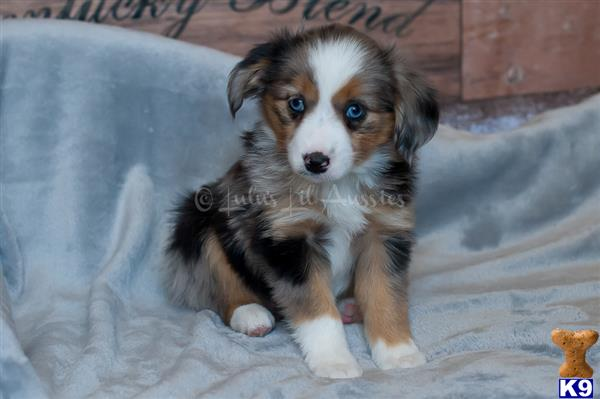 Miniature Australian Shepherd Puppy For Sale Champion Sired Blue