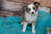 miniature australian shepherd puppy posted by MelindaLu