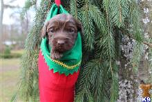 labradoodle puppy posted by Melissa Angelini