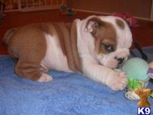 bulldog puppy posted by Michaelcosta1989