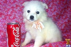 american eskimo dog puppy posted by Miniature American Eskimo puppies