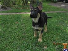 german shepherd puppy posted by Missy777
