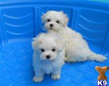 maltese puppy posted by Morgan Fang