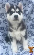 siberian husky puppy posted by Morgancrystal