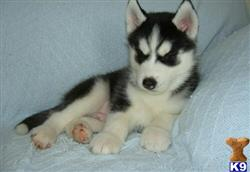 siberian husky puppy posted by Moris
