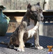 american bully puppy posted by MrBully82