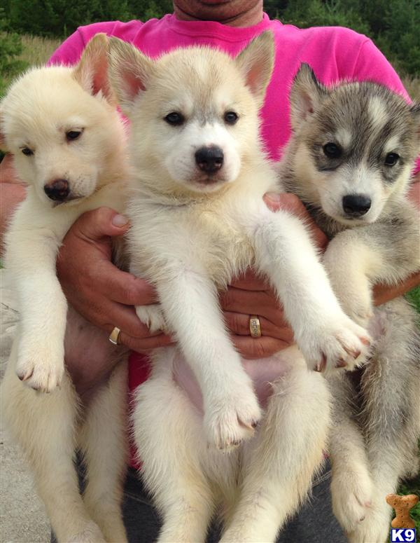 siberian husky puppy posted by Murteza58