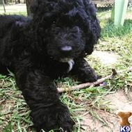 goldendoodles puppy posted by MuttMomma