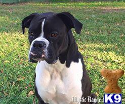 Boxer Puppy for Sale: Mystic Rayne Boxers Upcoming Litter 3