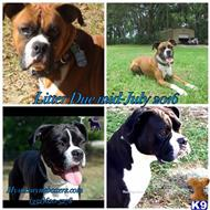 Boxer Puppies for sale in Florida