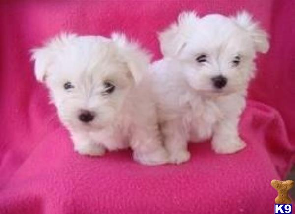 maltese puppy posted by NEW PUPPIES