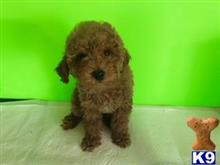 maltipoo puppy posted by NEW PUPPIES