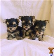 yorkshire terrier puppy posted by NEW PUPPIES
