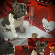french bulldog puppy posted by Nokies Bullies