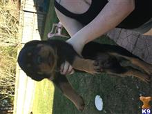 rottweiler puppy posted by Nwm8926
