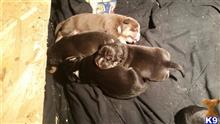 american pit bull puppy posted by Ohiostatebullys