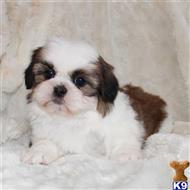 shih tzu puppy posted by Ojg170504
