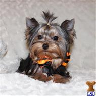 yorkshire terrier puppy posted by Ojg170504