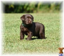 labrador retriever puppy posted by OurLovableLabs