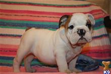 english bulldog puppy posted by PALMBEACHPUPPIES1