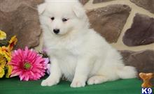 samoyed puppy posted by PAUL12