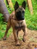 belgian malinois puppy posted by PTAUZIN