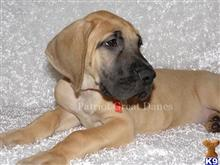 great dane puppy posted by Patriot Great Danes