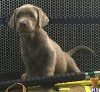 labrador retriever puppy posted by PattiHadley