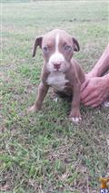 american pit bull puppy posted by Penny43