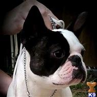 french bulldog puppy posted by Perdue Hills