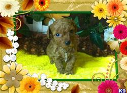 maltipoo puppy posted by Petclassifieds