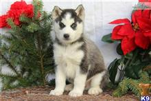 siberian husky puppy posted by Petshomepage