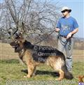 king shepherds puppy posted by PioneerGSDs