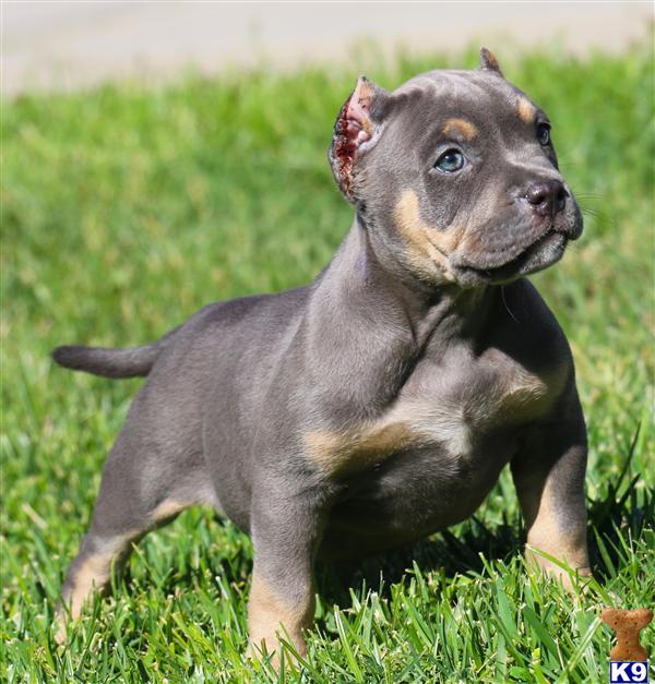 American Pit Bull Puppy for Sale: MS FANTASY FEMALE..... BLUE TRI ...