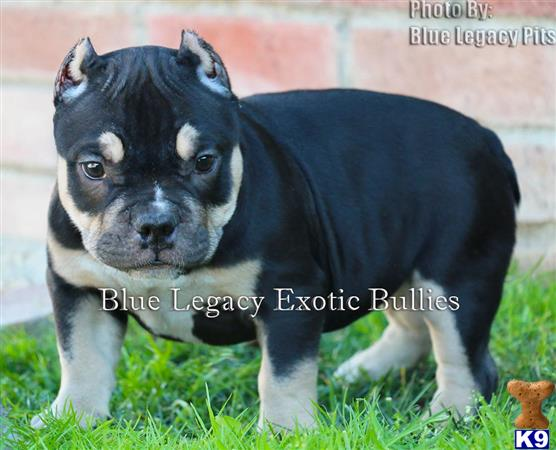 american pit bull puppy posted by Pitbull Bully