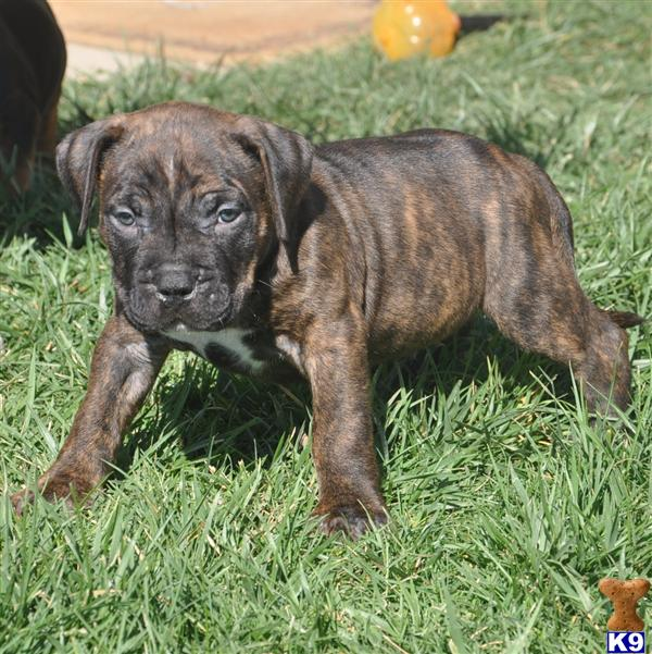 American Pit Bull Puppy For Sale Brindle Xl Bully Pitbull Male