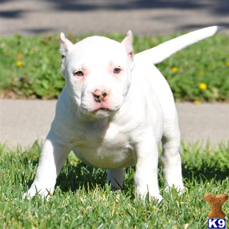 American Pit Bull Puppy For Sale Snow White Extreme Bully