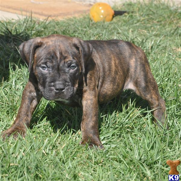 Brindle Dogs Names Related to Cool Boy Dog Names